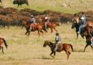 Free Range Buffalo